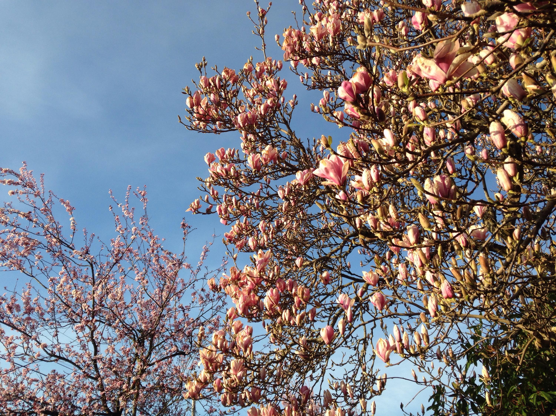 magnolias on grand ave by Kari Quaas